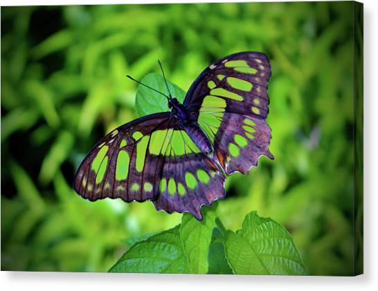 Green And Black Butterfly Canvas Print
