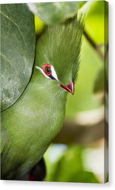 Green Turaco Bird Portrait Canvas Print