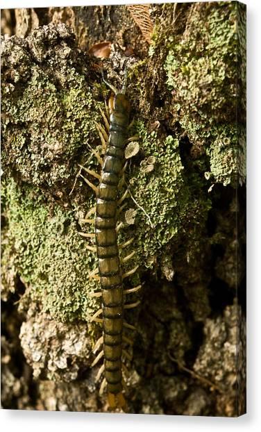 Centipedes Canvas Print - Green Centipede by Douglas Barnett