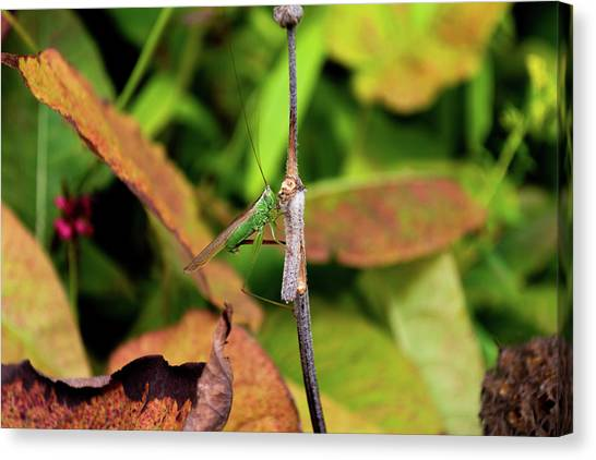 Canvas Print featuring the photograph Green Conehead Cricket Holding Twig by Scott Lyons