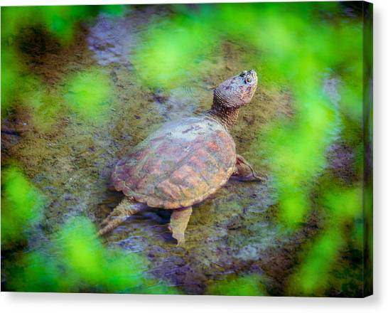 Snapping Turtles Canvas Print - Green Framed Turtle by Geoffrey Baker