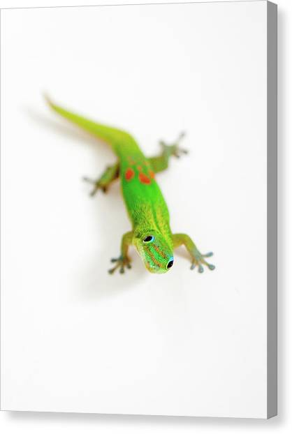 Canvas Print featuring the photograph Green Gecko by Denise Bird