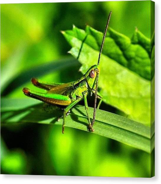 Grasshoppers Canvas Print - Green Grasshopper #macro #macroshot by Davide Rigatti