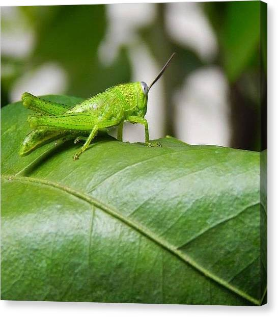 Grasshoppers Canvas Print - Green Grasshopper Resting On A Leaf by Nicole Townsend