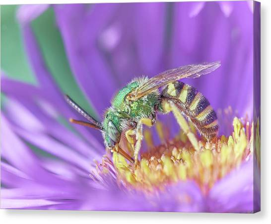 Pollinator Canvas Print - Green Halactid Bee  Agapostemon Virescens by Jim Hughes