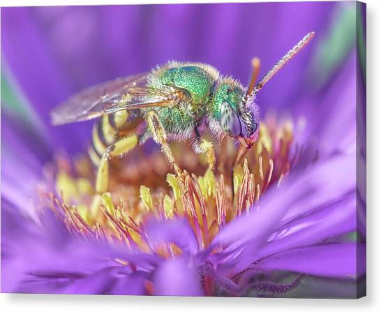 Pollinator Canvas Print - Green Halactid Bee On Purple Aster by Jim Hughes