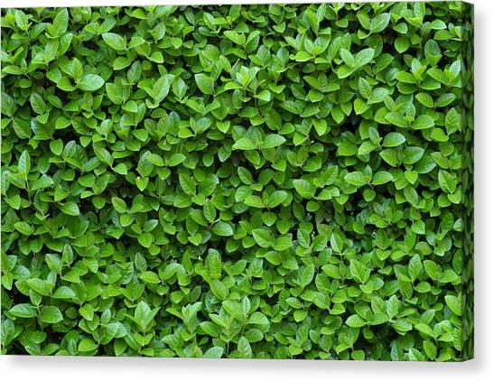 Green Hedge Canvas Print by Frank Tschakert