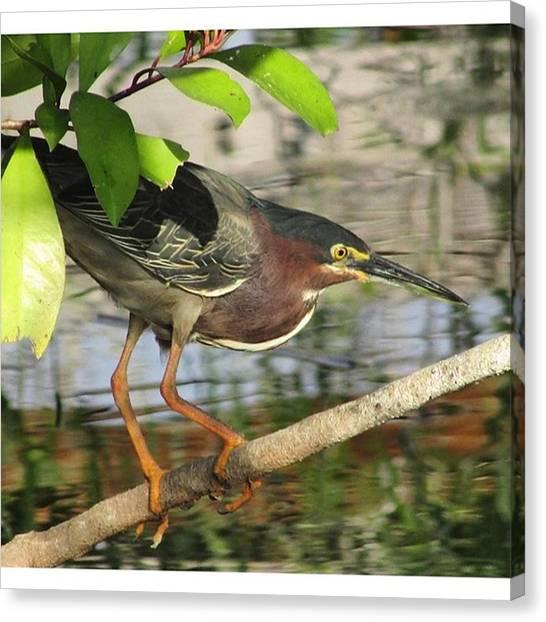 Everglades Canvas Print - Green Heron, From 3/19/2016. #bird by Greg Royce
