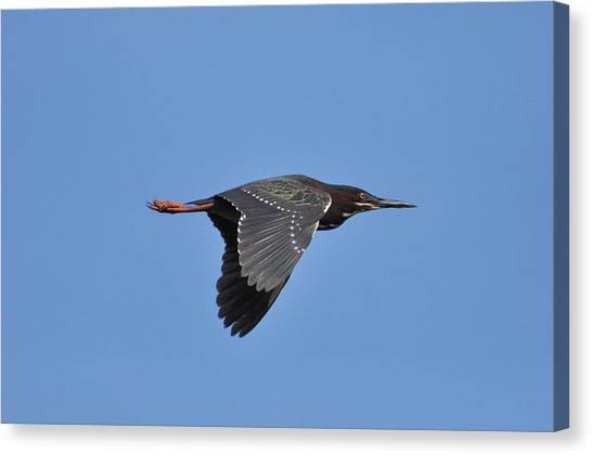 Green Heron In Flight Canvas Print