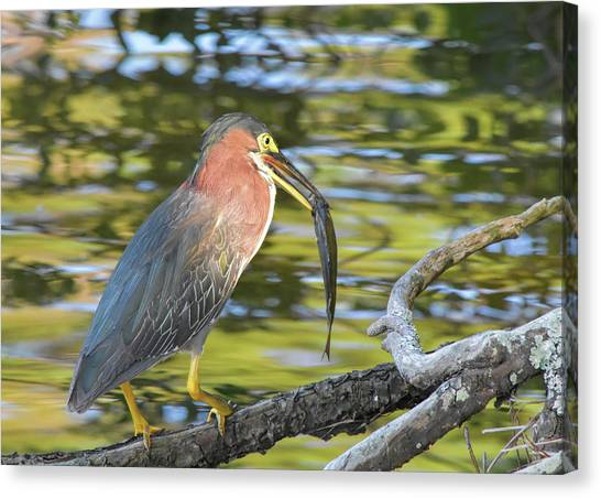 Green Heron With Fish Canvas Print