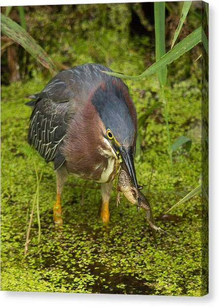 Green Heron With Prey Canvas Print