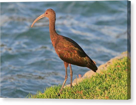 Green Ibis 4 Canvas Print
