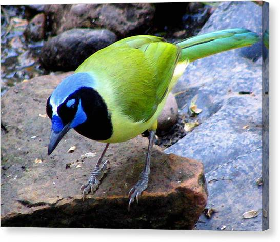 Canvas Print - Green Jay by Evelyn Patrick