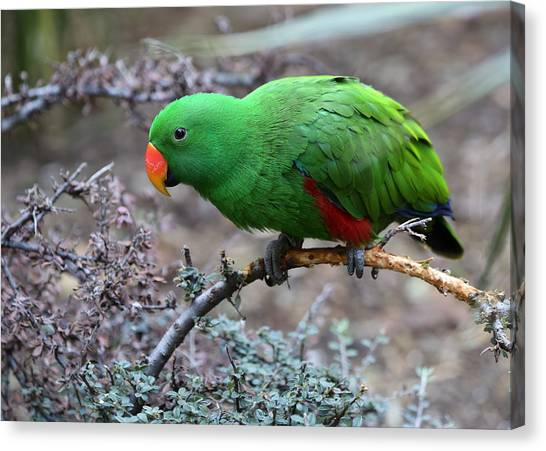 Green Male Eclectus Parrot Canvas Print