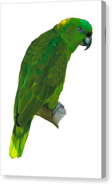 Green Parrot On White  Canvas Print