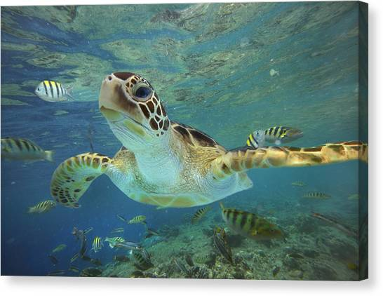 Eastern Canvas Print - Green Sea Turtle Chelonia Mydas by Tim Fitzharris