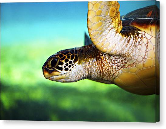 Hawaii Canvas Print - Green Sea Turtle by Marilyn Hunt
