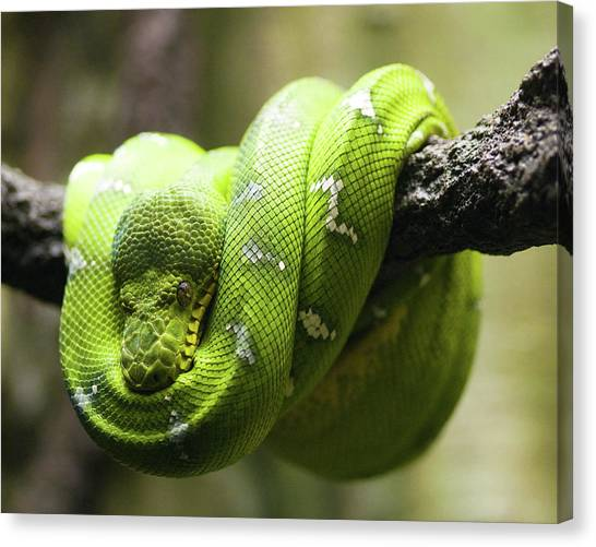 Pythons Canvas Print - Green Tree Python by Andy Wanderlust