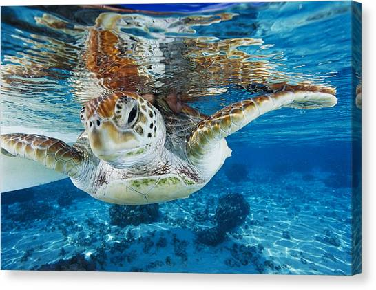 Turtles Canvas Print - Green Turtle by Alexis Rosenfeld