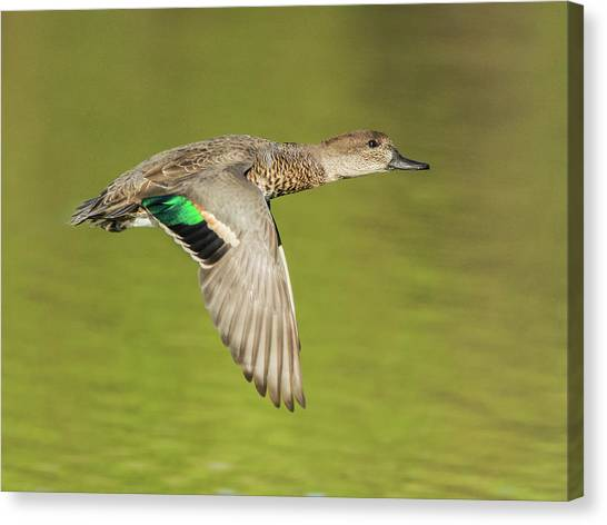 Green-winged Teal 6320-100217-2cr Canvas Print
