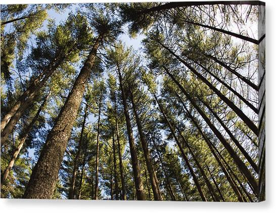 Greenbank Pines Canvas Print