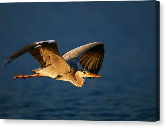 Large Birds Canvas Print - Grey Heron In Flight by Johan Swanepoel