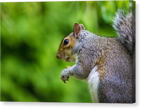 Bushy Tail Canvas Print - Grey Squirrel by Martin Newman