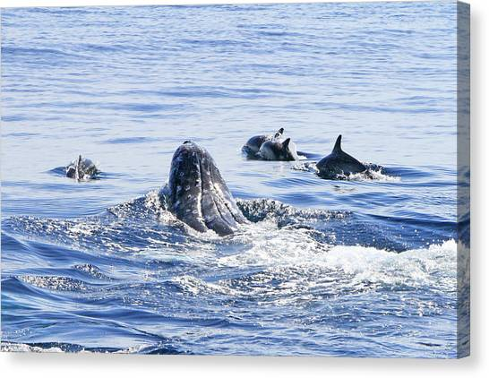 Grey Whale 1 Canvas Print