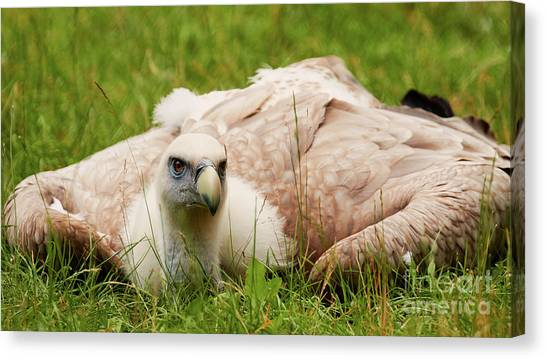 Canvas Print featuring the photograph Griffon Vulture by Nick Biemans
