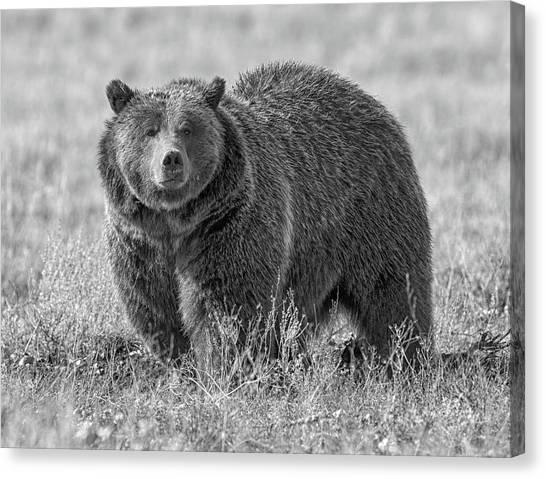 Brutus The Bear Canvas Print