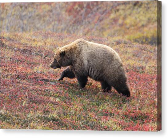Grizzly At Denali National Park Canvas Print