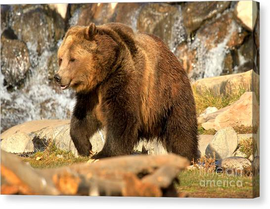 Bear Claws Canvas Print - Grizzly At The Falls by Adam Jewell