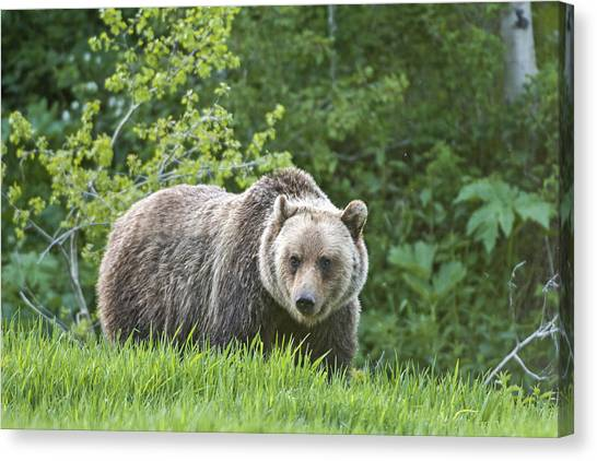 Canvas Print featuring the photograph Grizzly Bear by Gary Lengyel