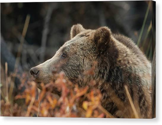 Grizzly Bear Portrait In Fall Canvas Print