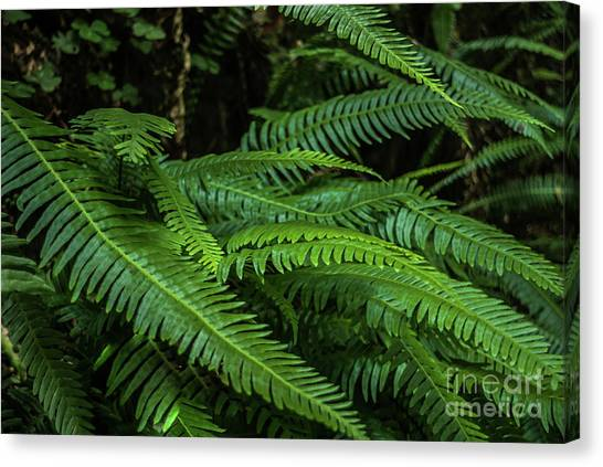 Grizzly Creek Redwoods Ferns Canvas Print by Blake Webster