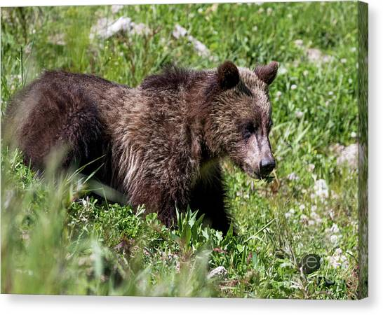 Grizzly Cub  Canvas Print