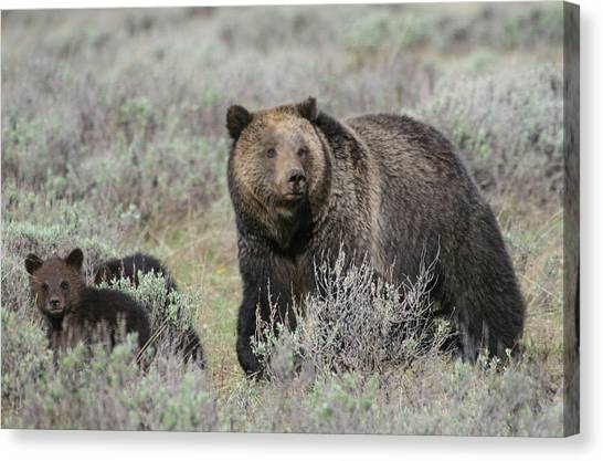 Grizzly Family Canvas Print