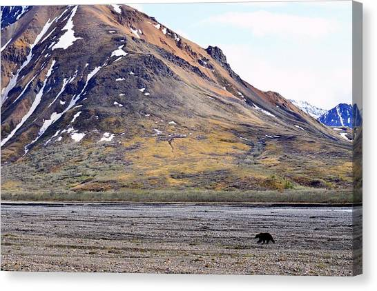 Grizzly In Denali Canvas Print