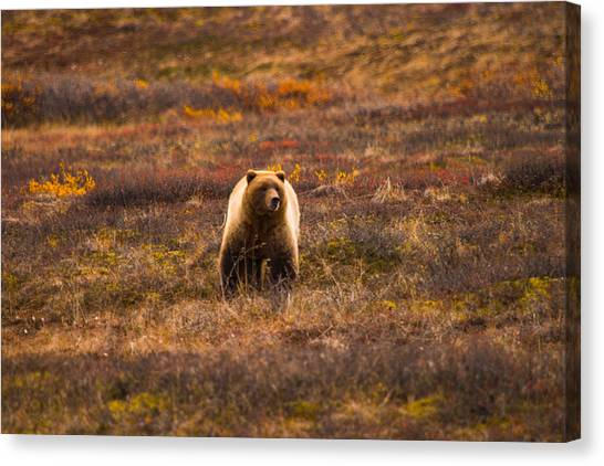Wild Berries Canvas Print - Grizzly On The Prowl by Jeff Folger
