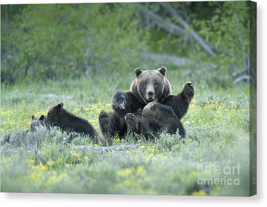Grizzly Romp - Grand Teton Canvas Print