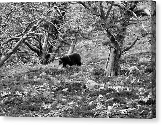 Omnivore Canvas Print - Grizzly Walking Through Dead Trees - Black And White by Mark Kiver