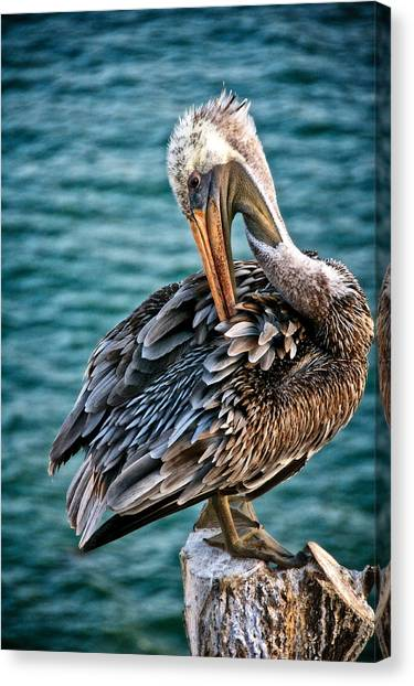Grooming Session, California Brown Pelican Canvas Print