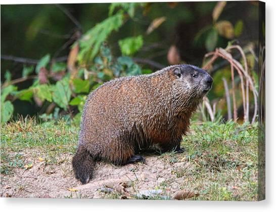 Groundhogs Canvas Print - Groundhog  0590 by Jack Schultz