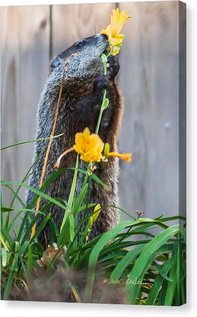 Canvas Print featuring the photograph Groundhog And Flowers by Edward Peterson