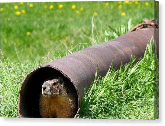 Groundhogs Canvas Print - Groundhog In A Pipe by Will Borden