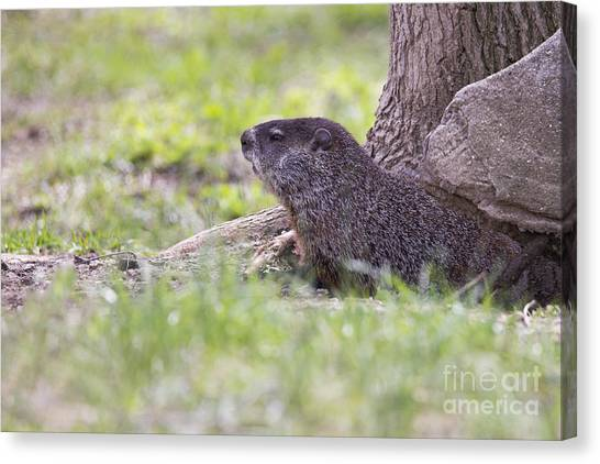 Groundhogs Canvas Print - Groundhog by Twenty Two North Photography