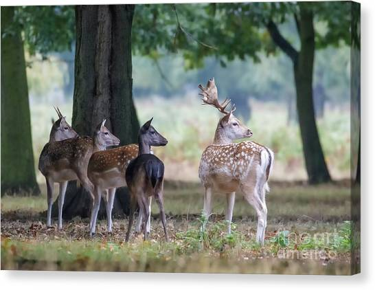 Canvas Print featuring the photograph Group Of Four Fallow Deer - Dama Dama - Startled By Something On T by Paul Farnfield