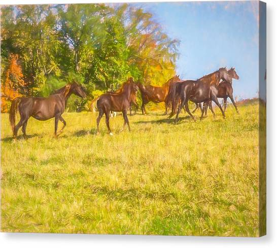 Group Of Morgan Horses Trotting Through Autumn Pasture. Canvas Print