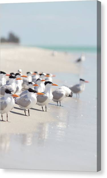 Florida Wildlife Canvas Print - Group Of Terns On Sandy Beach by Angela Auclair