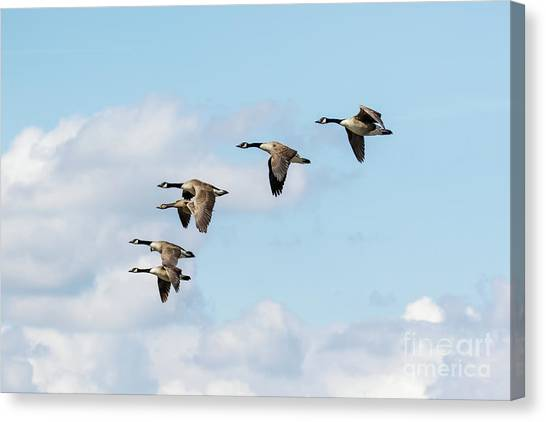 Canvas Print featuring the photograph Group Or Gaggle Of Canada Geese - Branta Canadensis - Flying, In F by Paul Farnfield